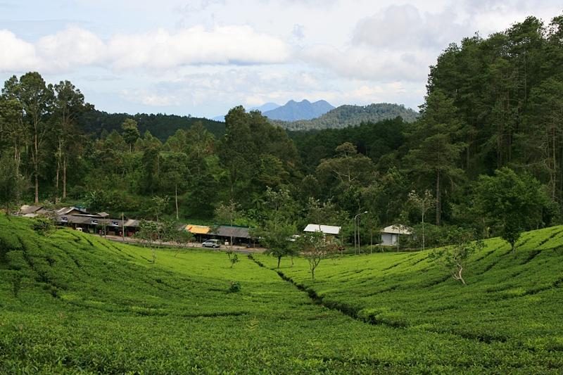 Чайные плантации, Бандунг