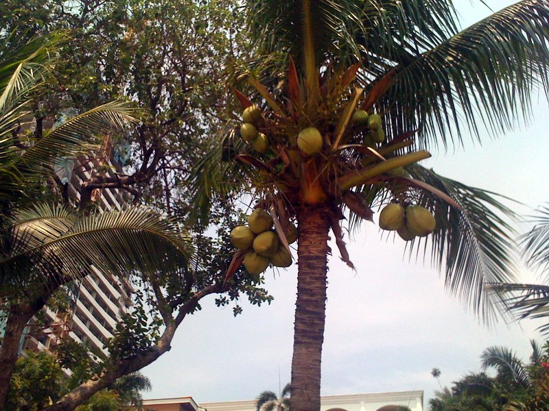 Пальмы, кокосы..