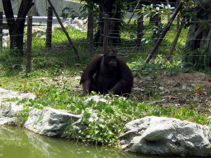 Чрезвычайно харизматичный орангутанг